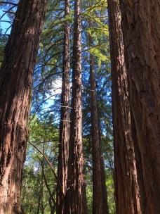 Looming Redwoods